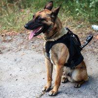 pies służbowy w kamizelce taktycznej