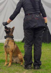 szkolenie owczarków belgijskich